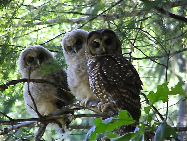 Spotted owls may benefit from wildfires
